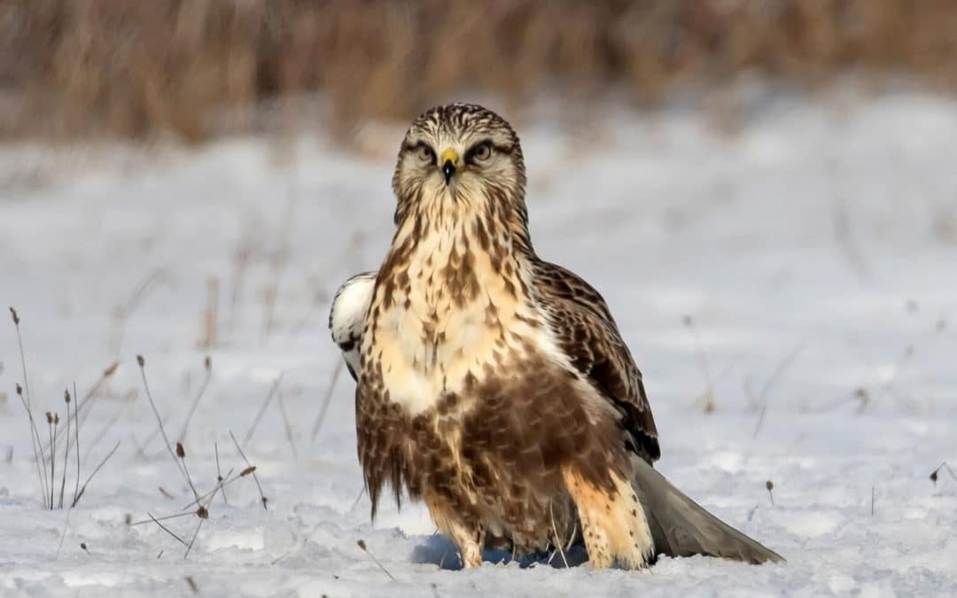Winter Raptor Survey Grows and Datasets Getting Larger